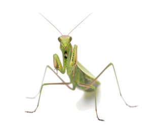 Mantis - Transparent Background