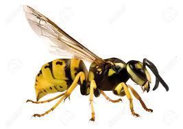 Wasp - Transparent Background