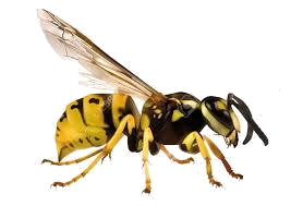 Wasp - Transparent Background